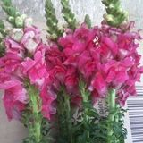 Rose Famili Flowers