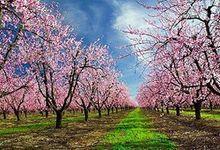 Sakura by SF Photography