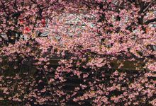 prewedding with cherry blossom by kuppography