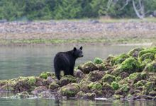 The Great Black Bear Safari by VC Tailormade Travel